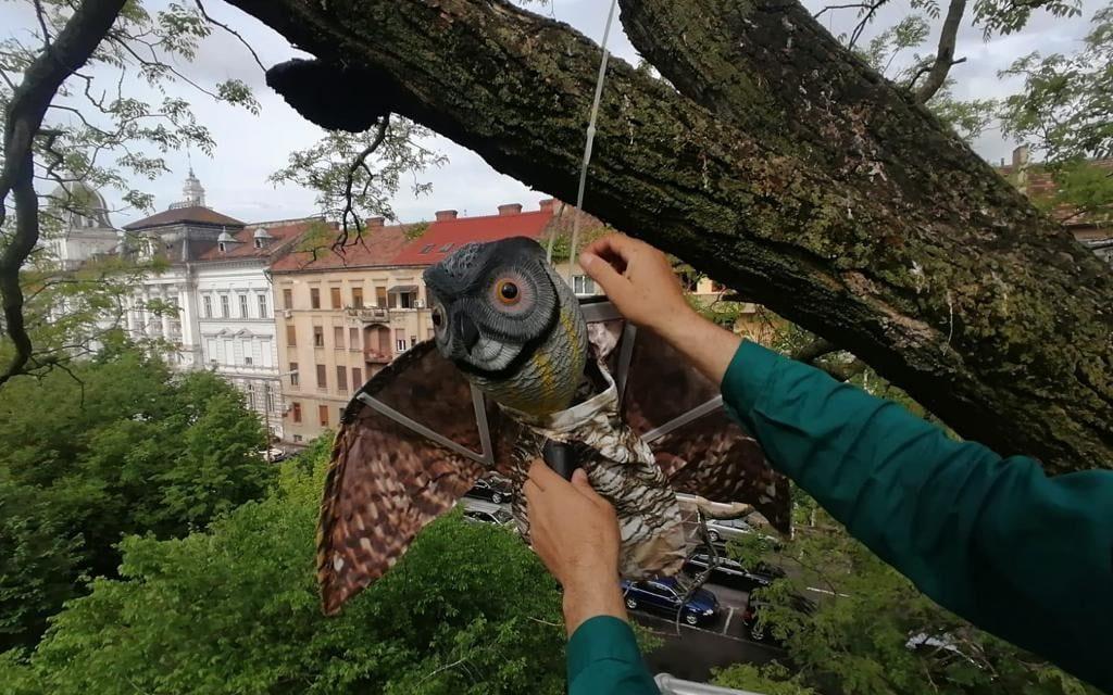 Primăria Arad va încerca să alunge ciorile din centrul oraşului folosind bufniţe false agăţate în copaci