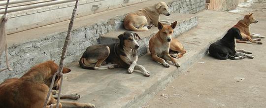 Primăria Buzău a anunţat că inventariază, microcipează şi sterilizează toţi câinii din municipiul reşedinţă